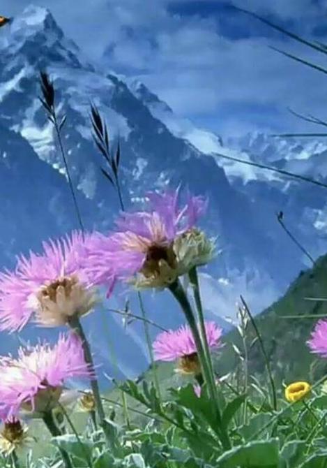 Alpi fiorite
