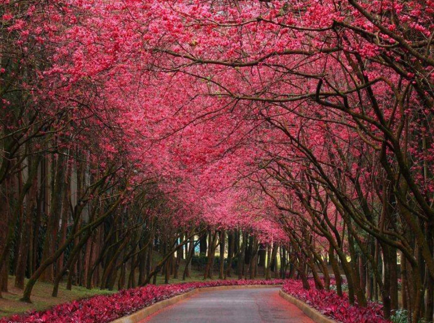 viale alberi rosa