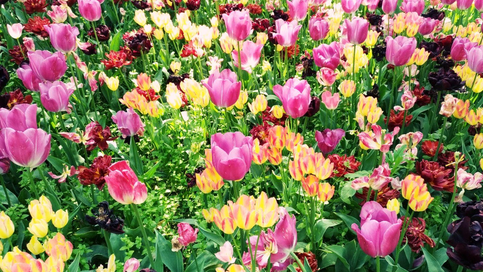 Tulipani Confraternita Annunziata