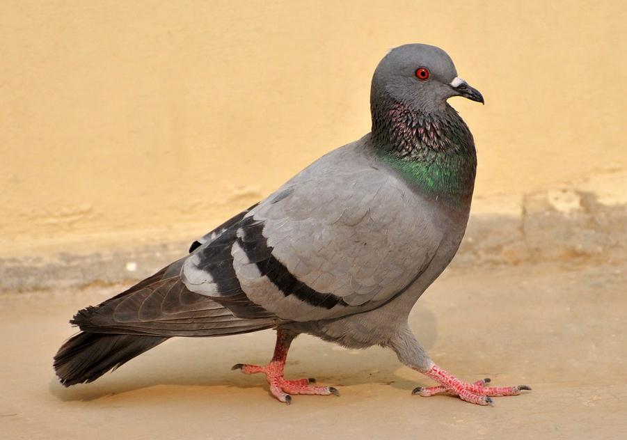 piccioni in santuario