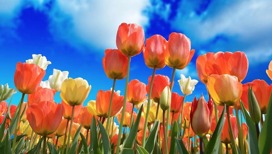tulipani e cielo