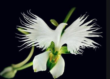 orchidea Peristeria alata