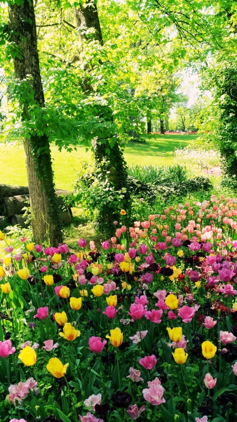 Messer tulipano 5